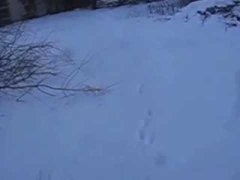 Вопрос: Почему заяц на снегу оставляет характерный след?