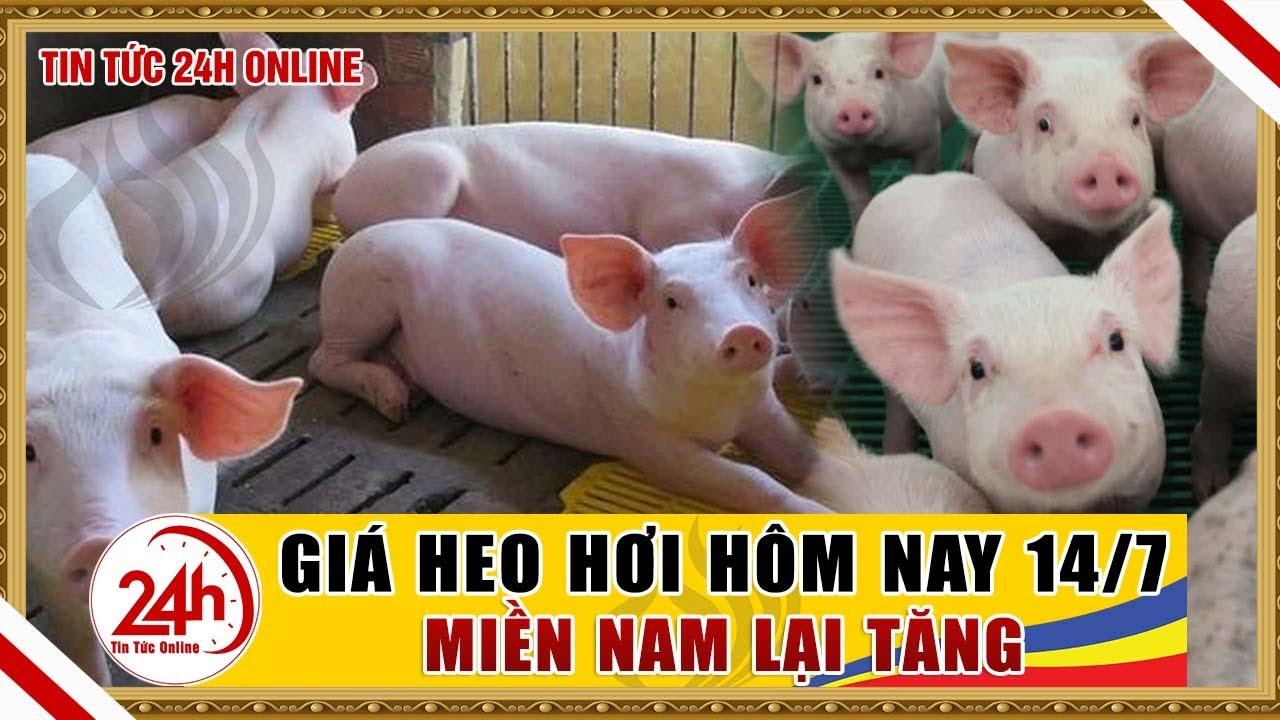 Giá heo hơi ngày hôm nay 14/7/ 2020 | Giá lợn hơi miền Nam lại tăng | Tin tức 24h