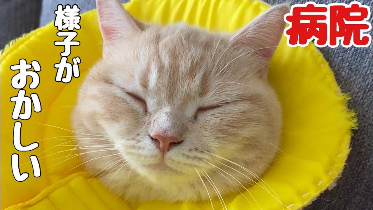【猫病気】ちゃとらんの様子がおかしい…。緊急で病院に行きました!Cat hospital!  Cute animals