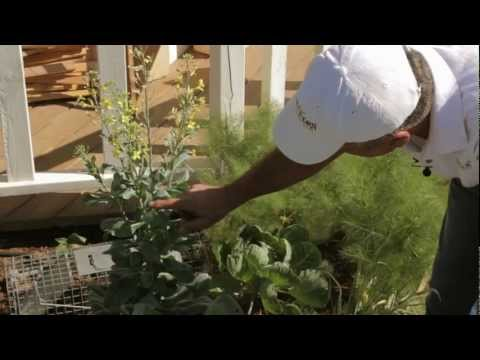 Saving Seeds: How to Save Brussels Sprouts Seeds - Sweet Corn Organic Nursery