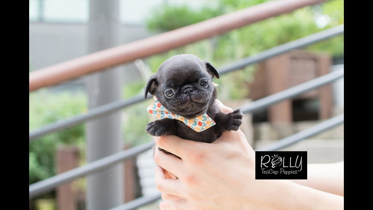 Must Watch VIDEO if you LOVE PUGS!! Candy - Rolly Teacup Puppies
