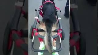 「はな工房」の犬用車椅子です。 後ろ足の具合が悪くなり、お散歩が困難...