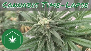 How to Grow Cannabis Time Lapse