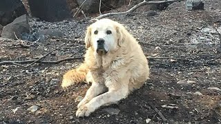Dog that survived catastrophic California wildfire guarded home for weeks