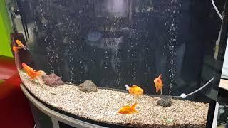 Золотые рыбки в зоомагазине Аквапит: наличие запятая цены.