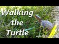 Walking the Baby Turtle