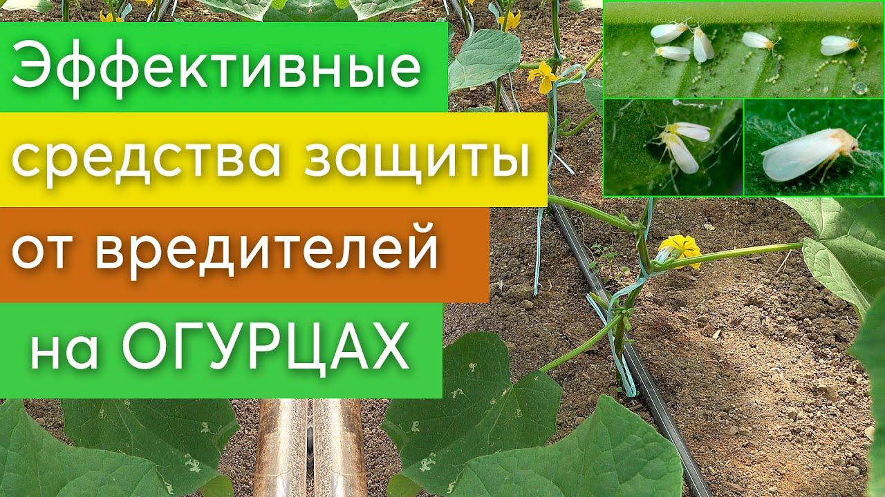 Эффективные препараты для защиты от вредителей на ОГУРЦАХ ...