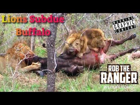 Intense Footage:Three Male Lions Killing A Buffalo Bull