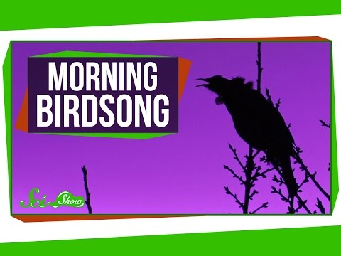 Why Do Birds Sing In The Morning?