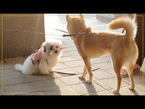 주인만 안다는 강아지 - 꼬똥 드 툴레아의 사회성 (Coton De Tulear)