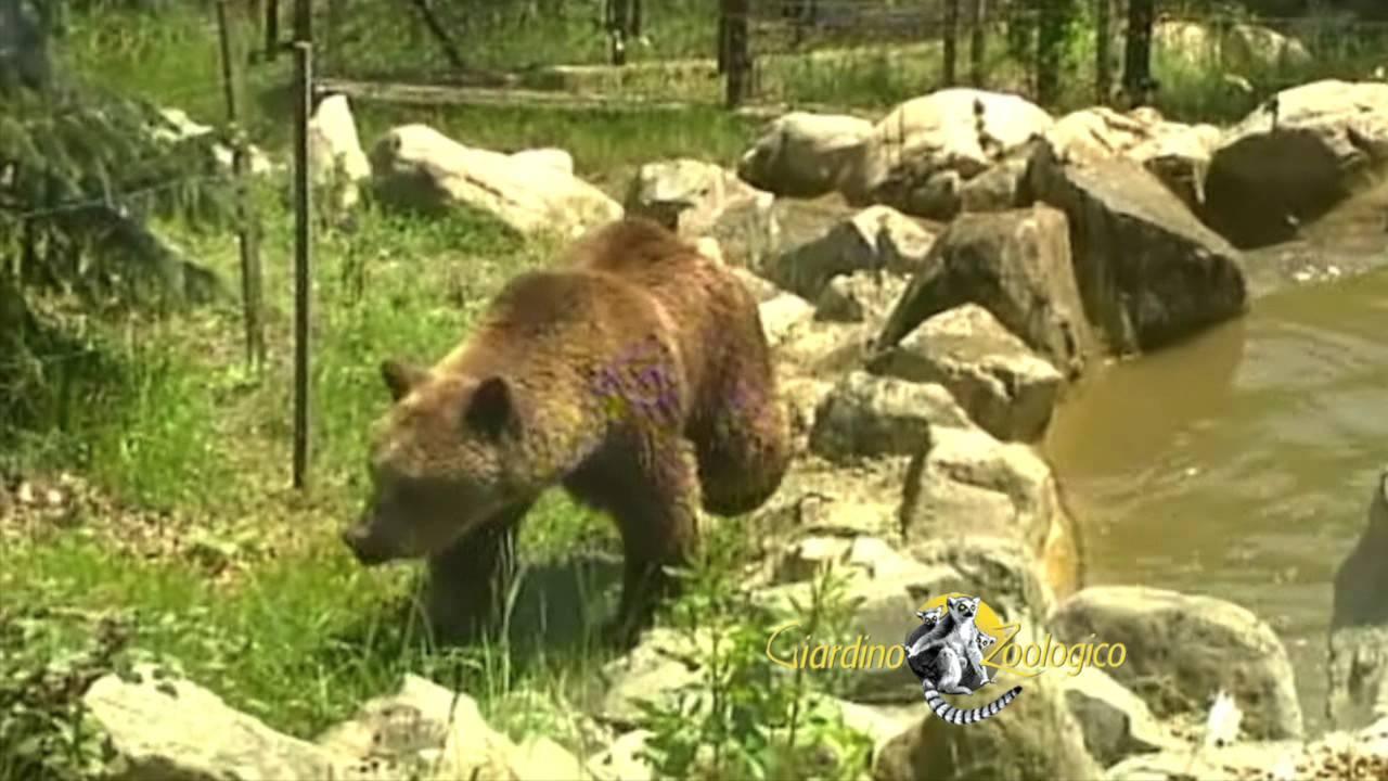 Orsi Allo Zoo Di Pistoia Youtube