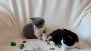 Британские породные котята,редкий окрас биколор