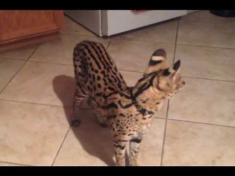 Watch this Serval JUMP So High!!