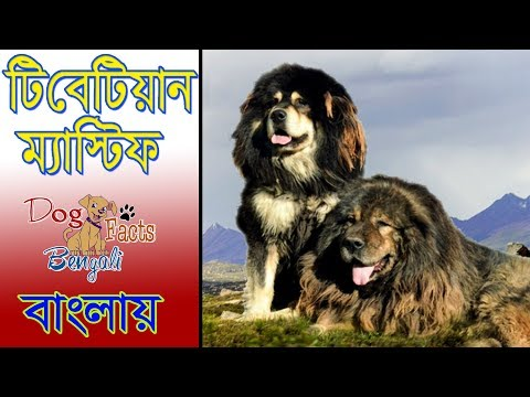 Tibetian mastiff dog facts in Bengali | Dog Facts & Reality | Popular Dogs | Dog Facts Bengali