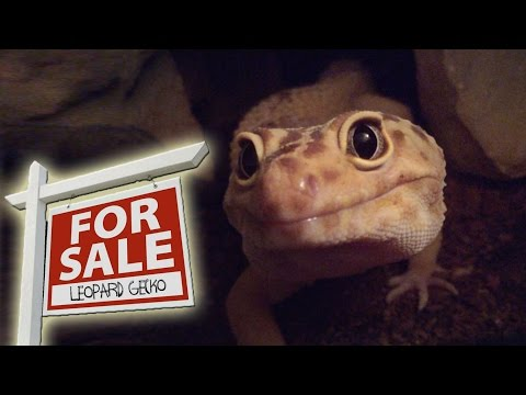 Where Can I Buy A Leopard Gecko? | FAQ Fridays