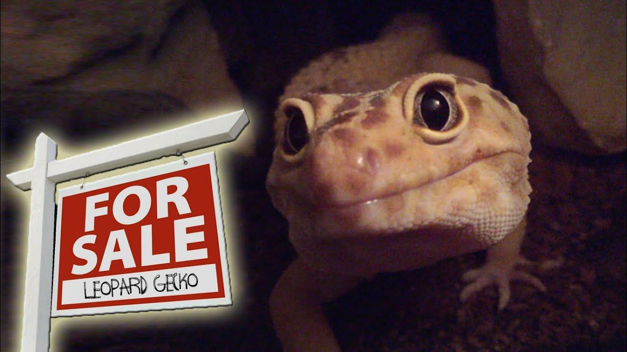 Where Can I Buy A Leopard Gecko? | FAQ Fridays