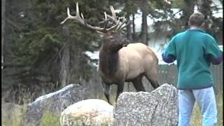 Elk Attack - Chases Man Taking Photo - runs for his life - in Banff, Alberta, Canada