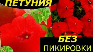 ПЕТУНИЯ БЕЗ ПИКИРОВКИ СУПЕР СПОСОБ ВЫРАЩИВАНИЯ !!!