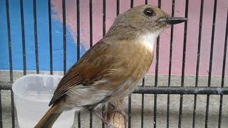 Kicau Burung Sikatan Rimba Dada Coklat (SRDC) Bali Jantan Nyuling Gacor Isian Keluar