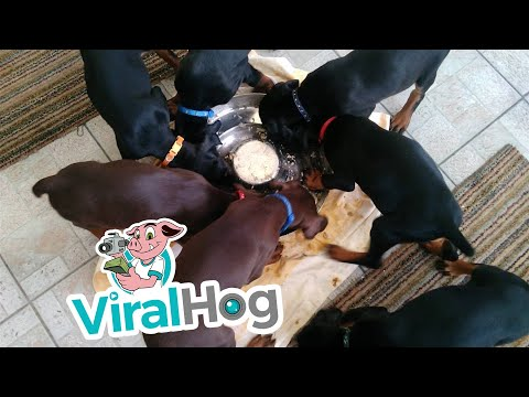 Pinwheel of Puppies Enjoying Dinner