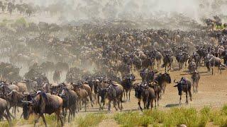 Великая Миграция Животных сносящая всё на своём пути !!!