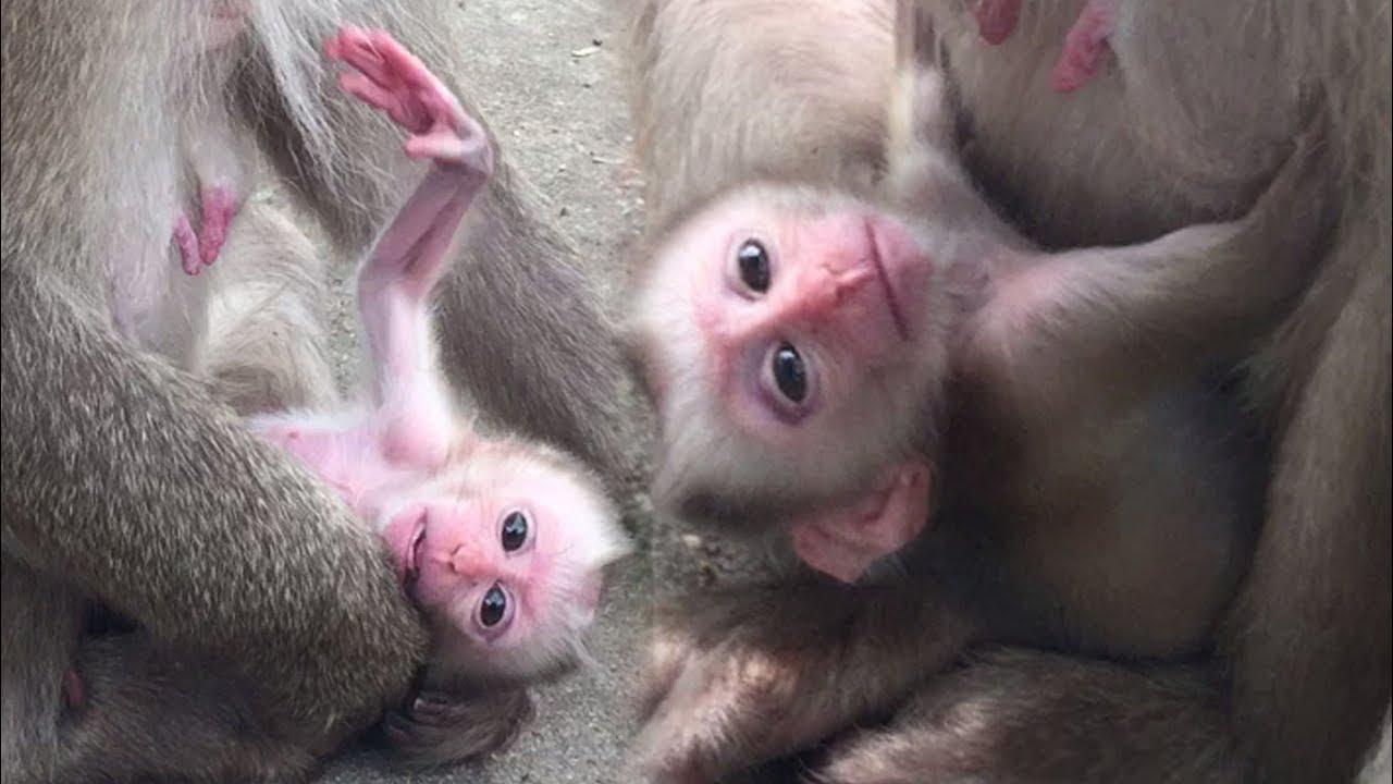 Pinky the Monkey