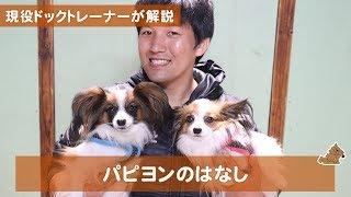 本日は久しぶりの犬種紹介です。 本日はパピヨンの子についてお話したい...
