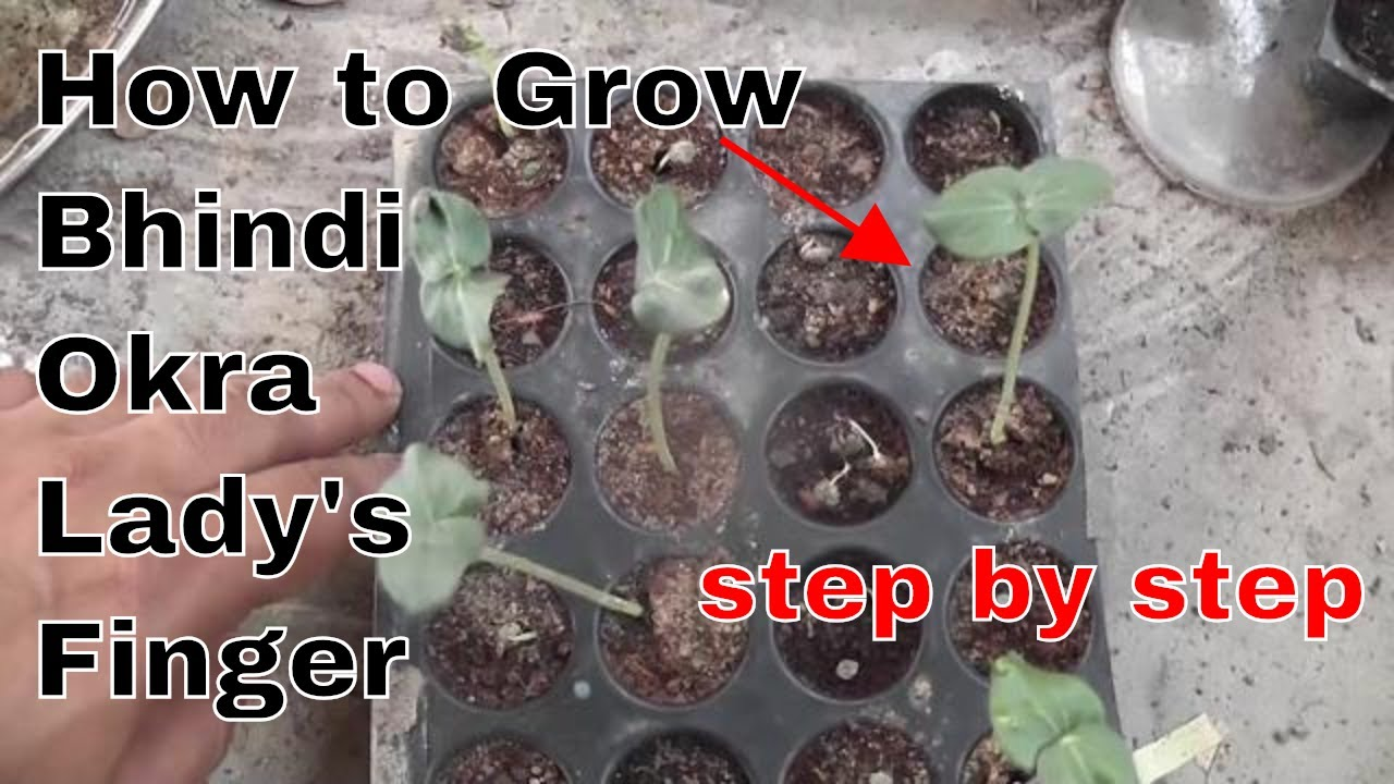 How To Grow Bhindi Okra Lady S Finger At Home From Seeds Summer Vegetable Hindi