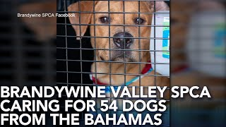 Brandywine Valley SPCA caring for 54 dogs from Bahamas
