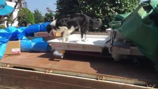 2016.10.2撮影。 ボーダーコリー10ヶ月の女の子。 トラックの荷台にピョ...