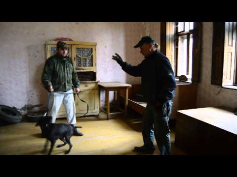 Police Pointer Working Dog Training 3
