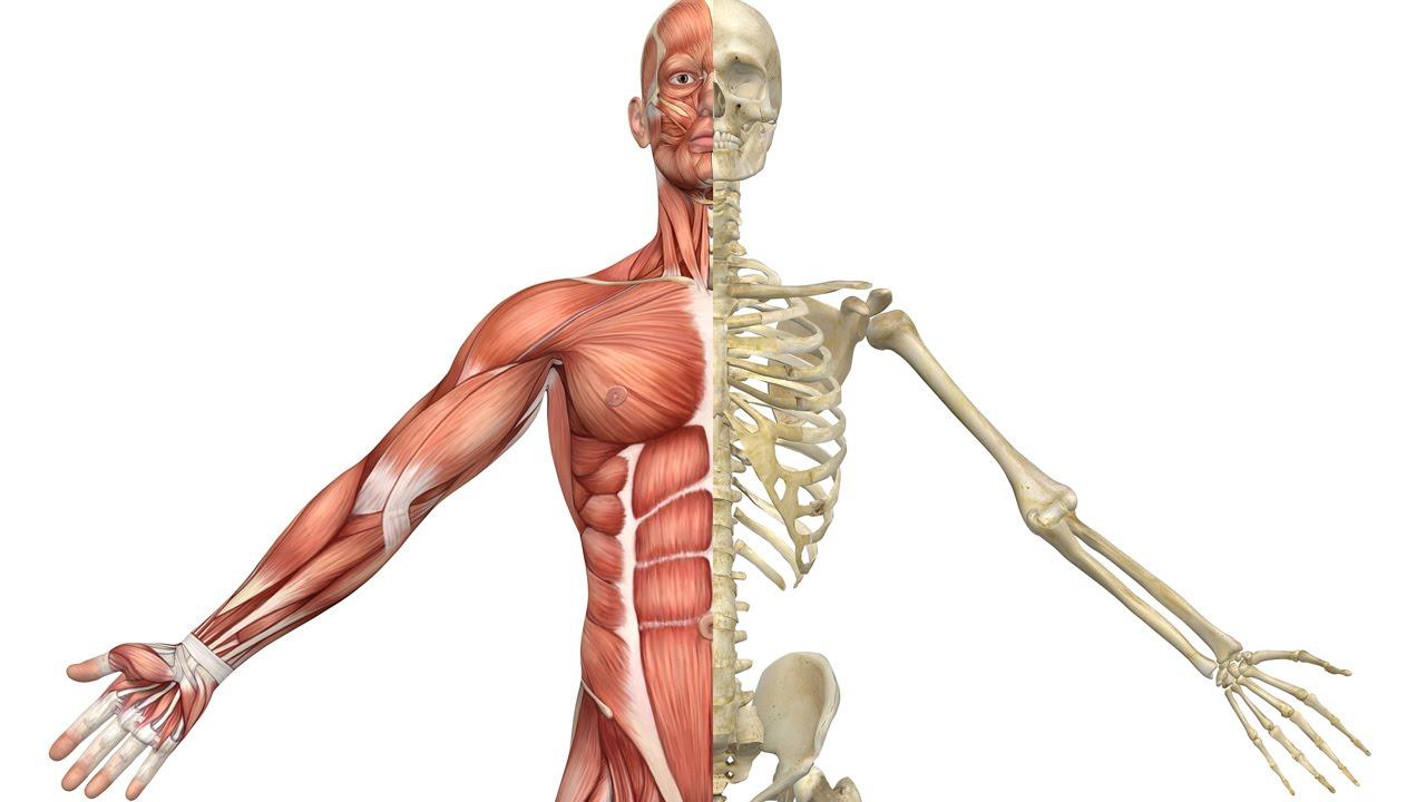 skelet muskler