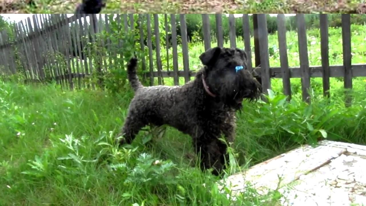 Порода собак. Керри-блю терьер.Отличная собака.Преданная хозяину. Агрессивная  к другим собакам