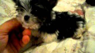 Micro Maltese/chihuahua ~litter Box Trained