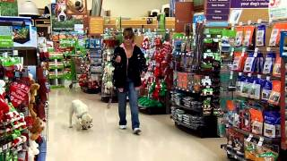 Lab Puppy Shoe Treat Training At Petco