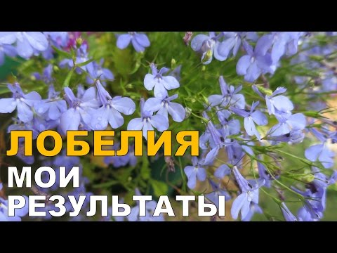 Лобелия ампельное растение для кашпо и бордюров! Лобелия.