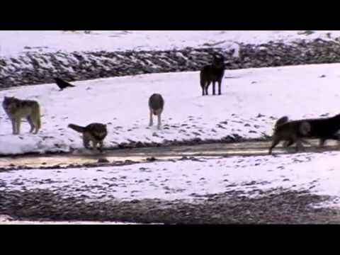 Wolf Pack-Documentary