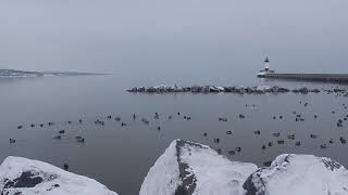 Lots of Winter Ducks @ Canal Park (Duluth)
