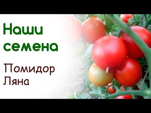 Сорт помидоров Ляна - свои семена