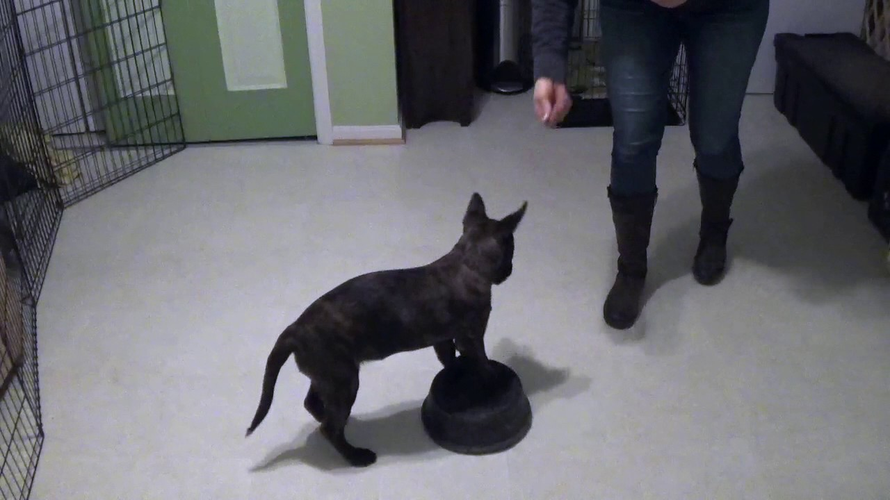 Dutch Shepherd Puppy Training 13 Weeks Old Youtube