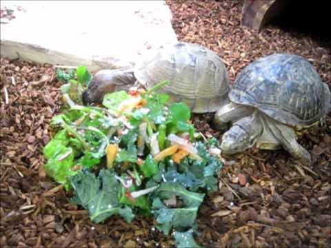 Feeding Box Turtles - YouTube