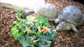 Feeding Box Turtles