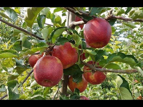 Яблоко Ред Джонапринц /Apple Red Jonaprince Viltons/