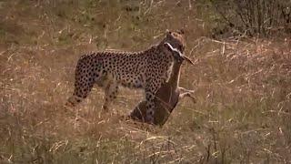 Cheetah hunting gazelle | Big Cat Diary | BBC
