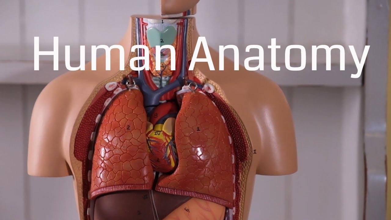Download Basic Human Anatomy for Beginners