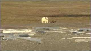 Шпицберген (Svalbard). Белый медведь о себе и о российских учёных