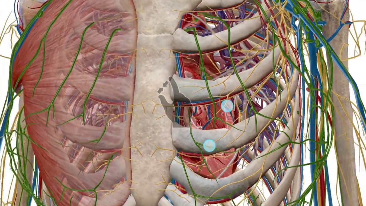 Zooming, dissecting, and rotating the 3D model | Human Anatomy Atlas