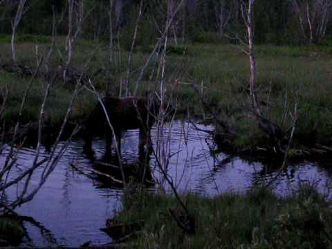 Moose sighting in Yellowstone National Park