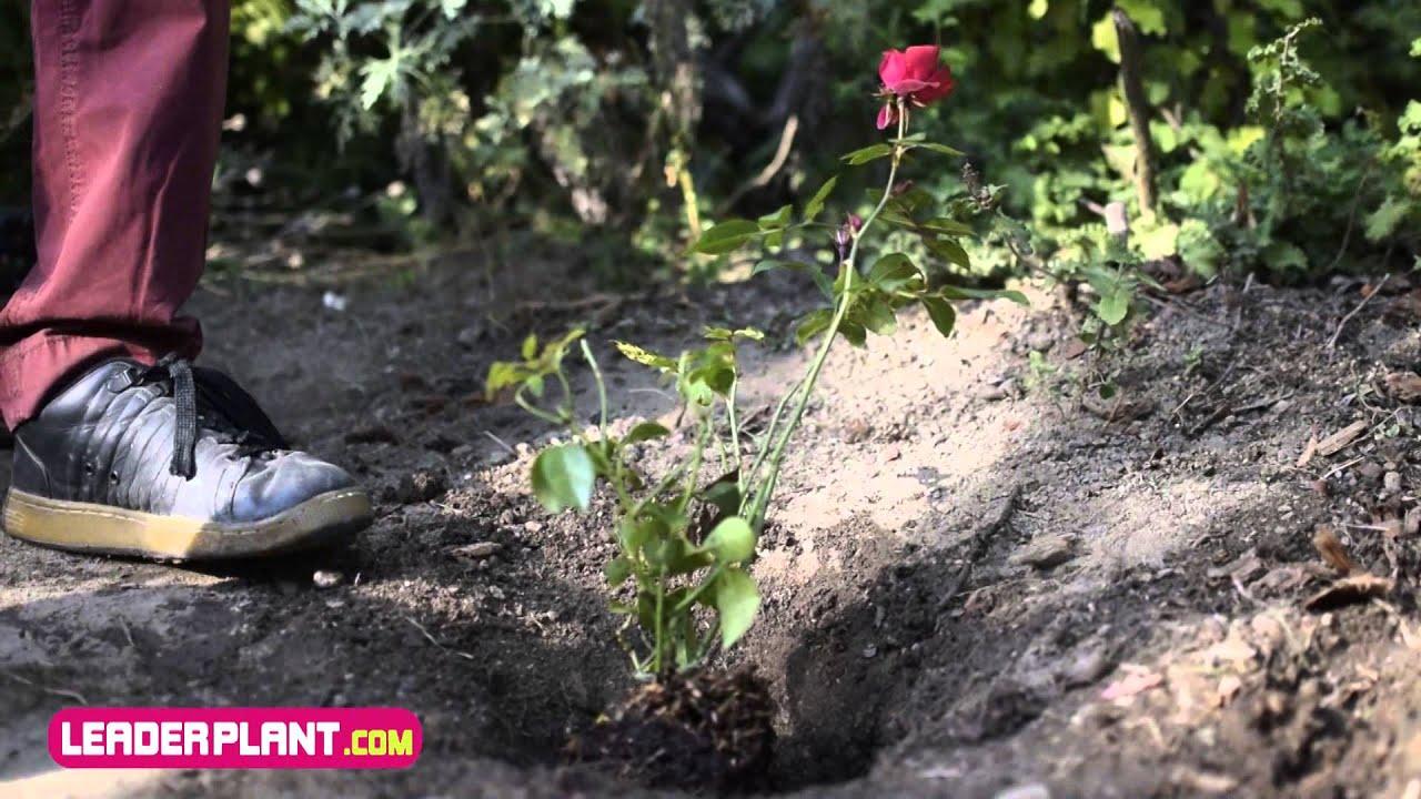 Comment planter un rosier ? - YouTube