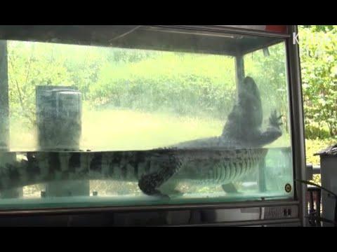 Crocodile Imprisoned In Tiny Tank Misses The Wild   Animal In Crisis EP32